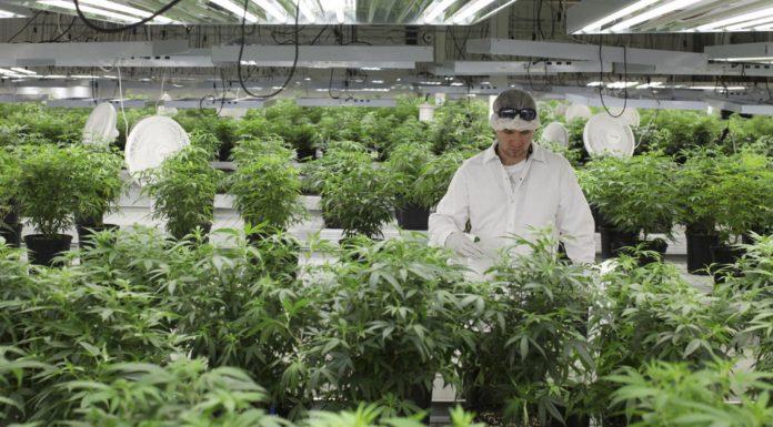Uprawa narodowej marihuany w Polsce