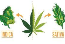 Sativa Vs Indica - poznaj różnice