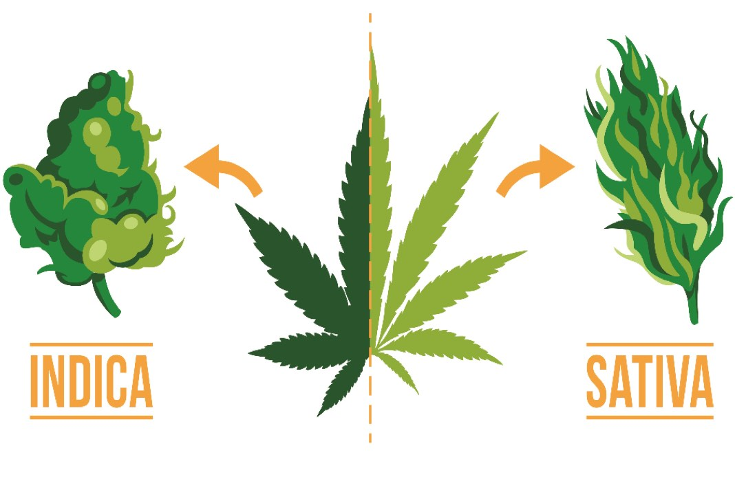 an introduction to the marijuana or cannabis sativia