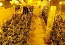 Plantatorzy marihuany spod Opola wpadli
