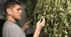 nik diaz mma ufc marihuana