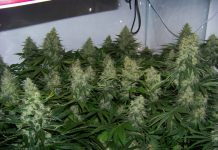 royal gueen seeds nasionamarihuany.pl automatic