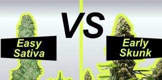 Early skunk vs Easy Sativa porównanie odmian marihuany