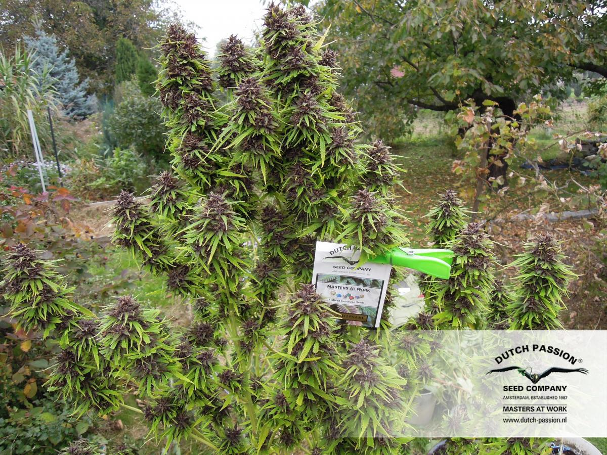 top 5 odmian nasion marihuany konopi indyjskich na polski outdoor uprawa marihuany frisian dew dutch passion
