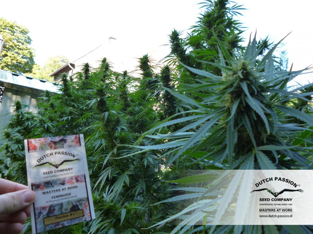 top 5 odmian nasion marihuany konopi indyjskich na polski outdoor uprawa marihuany passion 1 dutch passion