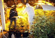 plantacja marihuany siwy toruń