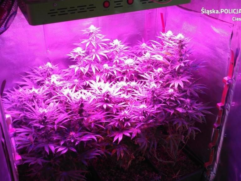 cieszyńska policja zlikwidowała uprawę marihuany w szafie