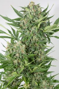 Nasiona marihuany amnesia xxl auto nasionamarihuany.pl tanie nasiona