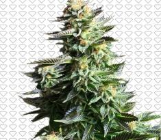 tanie nasiona marihuany AUTO AK Black Diamond Seeds