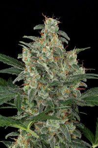 tanie nasiona marihuany Cheese AUto Black Diamond Seeds nasionamarihuany.pl