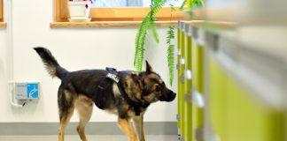 Pies straży granicznej wykrył u uczniów w tarnogórskiej szkole marihuanę