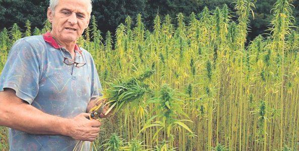 Rolnik legalnie uprawia konopie pod Szczecinkiem. Ludzie i Policja myślą, że to marihuana