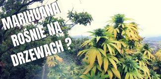 Uprawa marihuany outdoor na drzewach? Jak najbardziej jest to możliwe