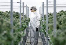Kanadyjska firma Cronos chce stworzyć THC w laboratorium. Syntetyczne THC ma być bardziej dostępne i dużo tańsze.