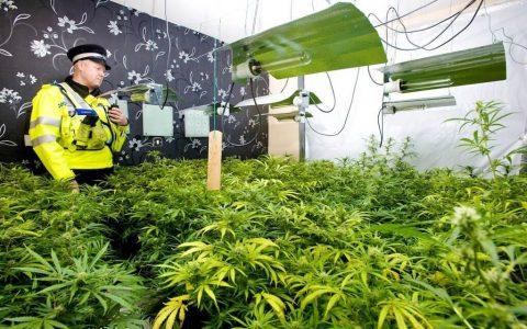 Medyczna marihuana bedzie dostepna w UK od jesieni 2018. Wielka brytania legalizuje medyczną marihuanę
