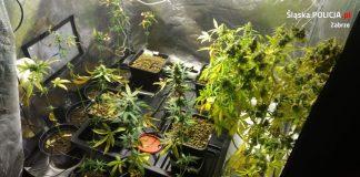 Zlikwidowano polantacje marihuany w Zabrzu