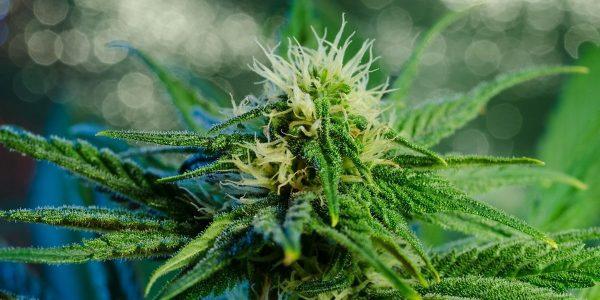 Luksemburg zdecydował się zalegalizować marihuanę rekreacyjną