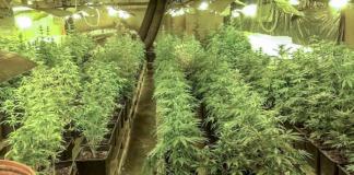 Policja zlikwidowała uprawę marihuany w Kostrzynie nad Odrą. Zabezpieczono 30 kg suszu i 312 krzaków.