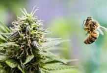 Pszczoły na haju. Mieszkaniec Nowego Bohu dokarmiał pszczoły marihuaną?