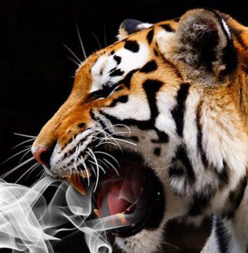 Wkradli się do domu aby zapalić marihuanę a znaleźli…. tygrysa!