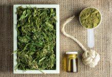 UE zwiększy limit stężenia THC w konopiach siewnych.