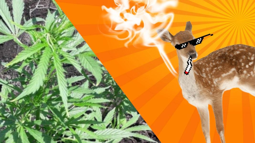 Sprzedawał marihuanę przez internet. Część zjadły sarny