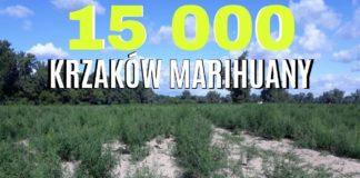 Plantacja na powierzchni 4 hektarów. 15 tysięcy krzaków marihuany były usuwane przez 2 dni.