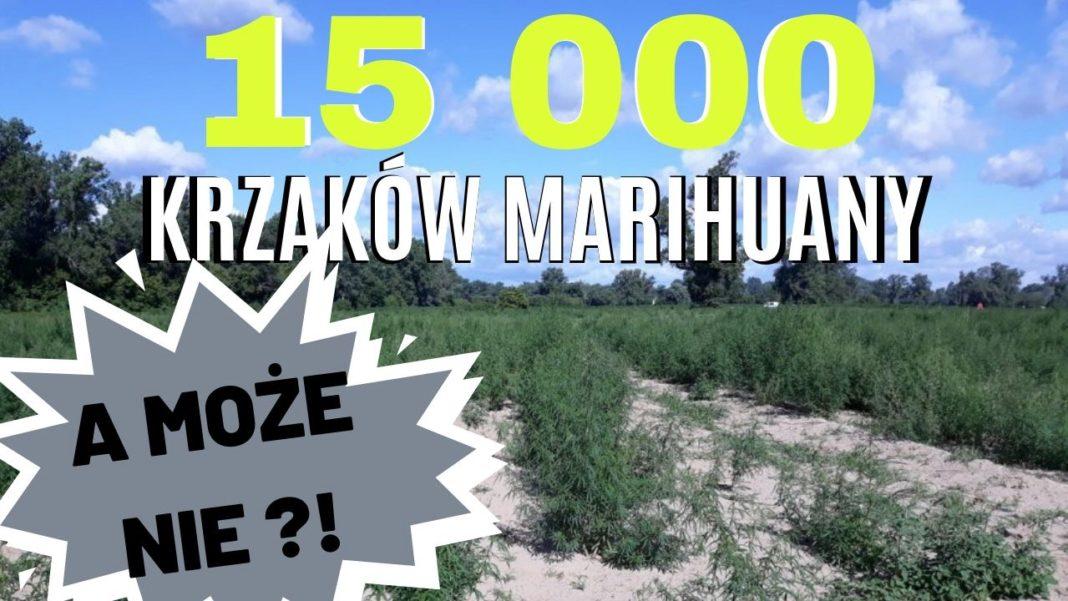 Wyniki badań uprawy pod Ciechocinkiem - 15 000 krzaków konopi.