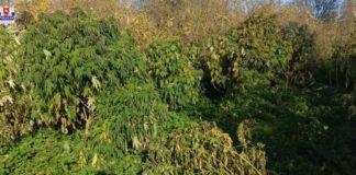 Uprawa marihuany Lublin Policja, poszukiwany plantator