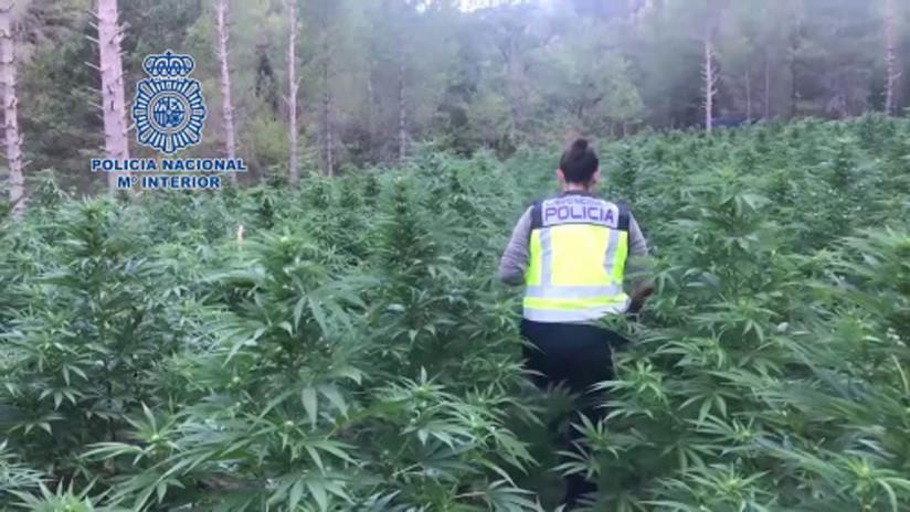 Hiszpania - potężna plantacja marihuany 3500 kilogramów