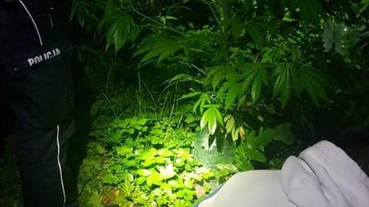 24 latek z Zabierzowa pochwalił się policjantom swoją uprawą marihuany. Zabrał ich na swoją plantację.