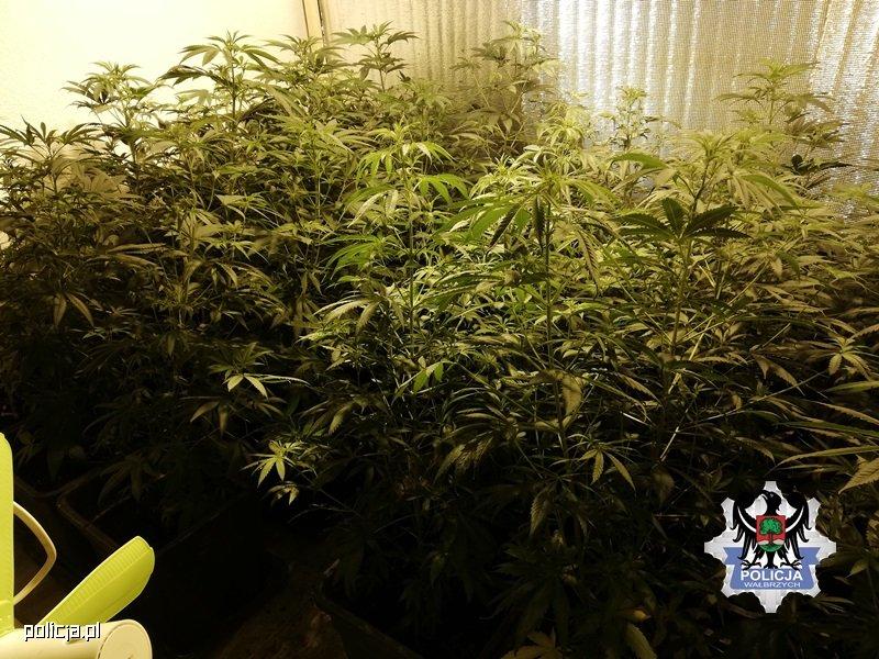 W sumie 53 krzewy marihuany i 5 kg amfetaminy w jednym z mieszkań w Wałbrzychu (woj. dolnośląskie). Plantację zlikwidowali tamtejsi policjanci. Zatrzymali też 29 latka, który zajmował się domową uprawą konopi indyjskich.