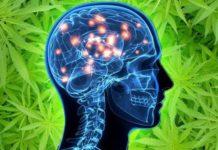 Stwardnienie rozsiane, nowotwory, epilepsja, bóle mięśni, a nawet spowolnienie rozwoju choroby Alzheimera. Naukowcy po raz kolejny przekonują, że zawarte w marihuanie CBD i THC mogą mieć uzdrawiające właściwości.