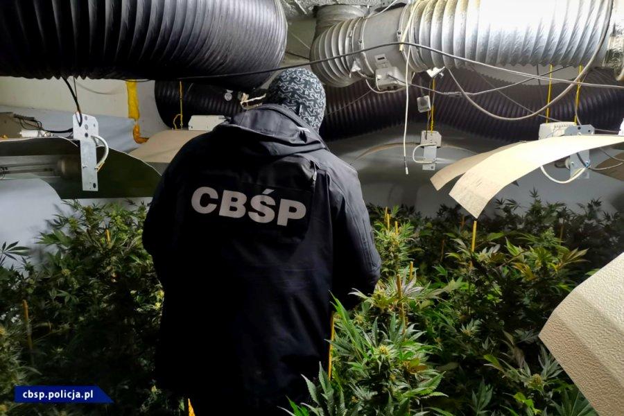 1350 krzewów i 16 kg marihuany przejęli w województwie łódzkim funkcjonariusze Centralnego Biura Śledczego Policji. Z ponad 1000 krzewów można było uzyskać co najmniej 10 kg konopnego suszu. Podczas akcji zatrzymani zostali dwaj mężczyźni.