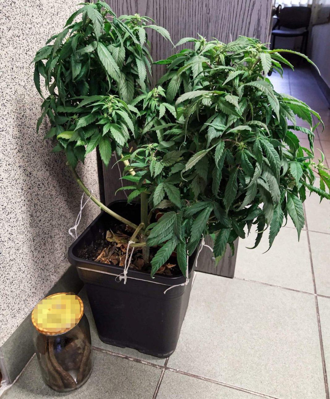To miała być wyjątkowa kolacja dla mamy. Miała być nie tylko smaczna, ale też sprawić, żeby mama 28 latka poczuła się naprawdę dobrze. Skończyło się jednak inaczej niż planował kochający syn. Mamę przewieziono do szpitala, a MasterChef, który usmażył dla niej naleśniki z marihuaną trafił do policyjnego aresztu.