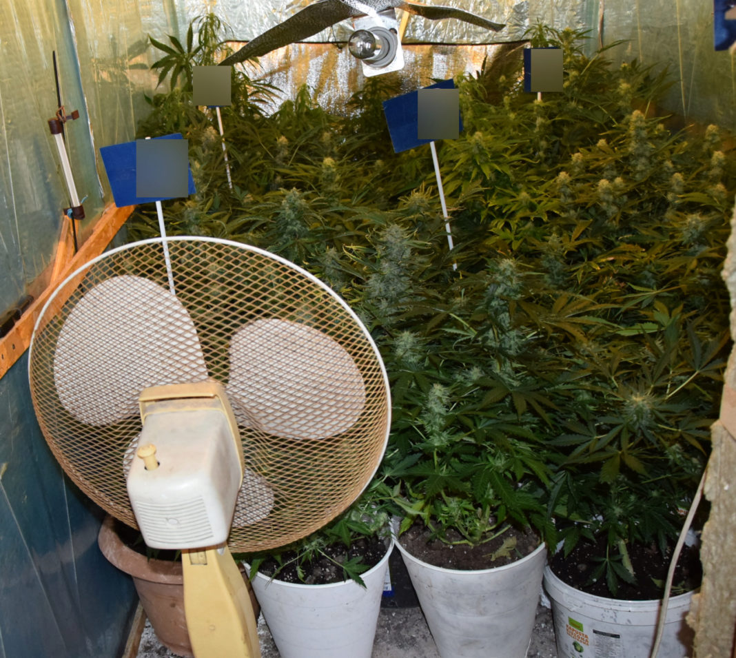 Gdzie najbezpieczniej założyć plantację marihuany? Odpowiedź na to pytanie myślał, że zna 26 latek, który marihuanę postanowił uprawiać u swoich przyszłych teściów.