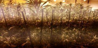 """To był zmasowany atak, niczym w Star Wars. W akcji pod kryptonimem """"Przebudzenie mocy"""" wzięło udział 500 policjantów. Zatrzymano 63 osoby i w efekcie zlikwidowano 18 plantacji marihuany na terenie Hiszpanii."""