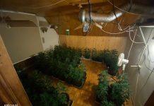 200 doniczek z krzewami marihuany i 350 krzewów suszących się krzaków. Taką plantację w jednym z domów jednorodzinnych w Jeleniej Górze zlikwidowali tamtejsi policjanci. Zatrzymali 4 plantatorów.