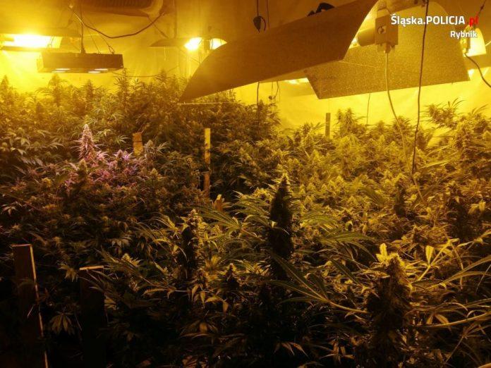 500 krzewów marihuany, pół kilograma konopnego suszu oraz prawie 1,5 kg wysuszonych roślin przejęli policjanci z Rybnika (woj. śląskie). Zatrzymano w sumie 5 osób, z których dwie – 25 letnia kobieta oraz 28 letni mężczyzna trafili do aresztu.
