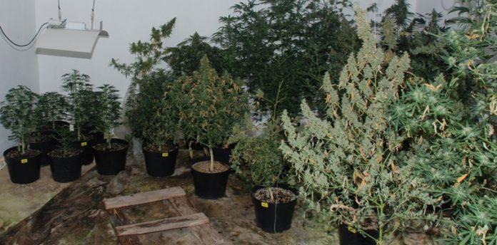 Kilkadziesiąt krzewów marihuany i 7 kilogramów suszu znaleziono podczas pożaru domu. Dramat rozegrał się w miejscowości Kosowo (gmina Przodkowo). Po ugaszeniu pożaru strażacy wraz z policjantami próbowali ustalić co było przyczyną pożaru. Znaleźli wówczas w środku pokaźną uprawę konopi indyjskich.
