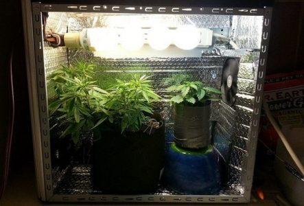 Coraz częściej decydując się na domową uprawę marihuany dla własnego użytku, wybieramy growboxa. Na rynku jest dostępnych naprawdę wiele namiotów do uprawy o różnych rozmiarach. Często jednak z powodu braku miejsca na dużego growboxa wybieramy te najmniejsze. Z myślą o tych, którzy chcą w przestrzeni małego namiotu uprawiać konopie prezentujemy 5 odmian, które się do tego optymalnie nadają.