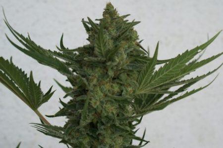 Jest nie tylko łatwa w hodowli, odporna, ale ma też naprawdę obfite plony. Critical Haze charakteryzuje się też mocą i walorami smakowymi, które z pewnością docenią palacze marihuany. Koneserzy docenią też obfite w wysokiej jakości żywicę topy tej odmiany.