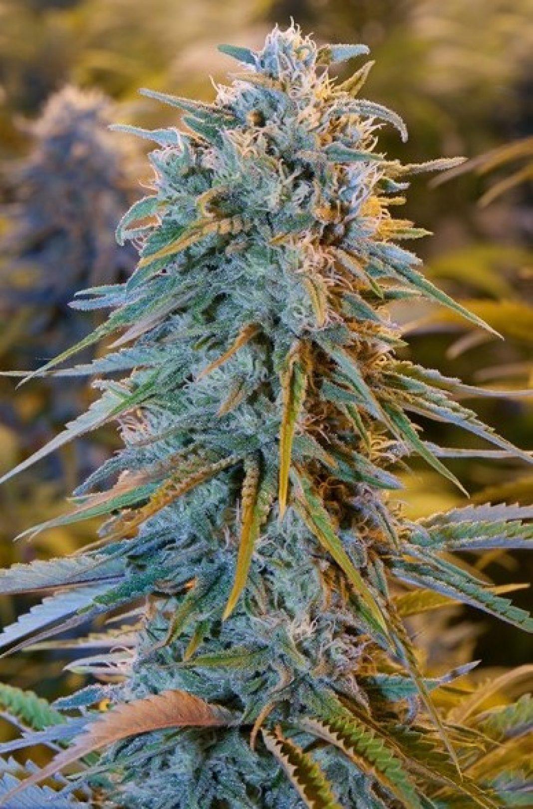 Swoje korzenie ma w słonecznej Kalifornii. Zarówno tam, jak i w całych Stanach Zjednoczonych, a później na świecie stała się bardzo szybko popularna. To zasługa obfitych plonów Blue Dream, jak również łatwości w uprawie tej odmiany marihuany. Więcej o jej pochodzeniu i hodowli dowiecie się z tego artykułu.