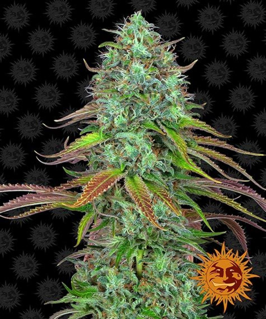 To naprawdę mocna odmiana marihuany, którą docenią weterani jarania. Rośliny LSD obradzają bardzo szybko w naprawdę obfite plony. Idealnie się to sprawdza w uprawach komercyjnych. Warto zatem bliżej się przyjrzeć legendarnej odmianie LSD.
