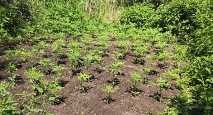 Inaczej niż jezioro marzeń tego miejsca nazwać nie można. W sumie 118 krzewów marihuany skonfiskowali policjanci w Osieku nad Wisłą. Bujną roślinność odkryto w tej miejscowości w pobliżu jeziora. Na miejsce niezwłocznie wezwano biegłego botanika.