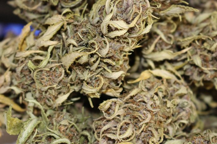 5 roślin marihuany, 15 gramów suszu i 5 gramów haszyszu w Czechach to jak wiadomo nie przestępstwo tylko wykroczenie. Wszystko jednak wskazuje na to, że rekreacyjna marihuana będzie u naszych południowych sąsiadów legalna! Jak wynika z badań przeprowadzonych przez Kantar na zlecenie Wolnych Konopi też chcielibyśmy takich zmian prawnych i zazdrościmy tego Czechom.