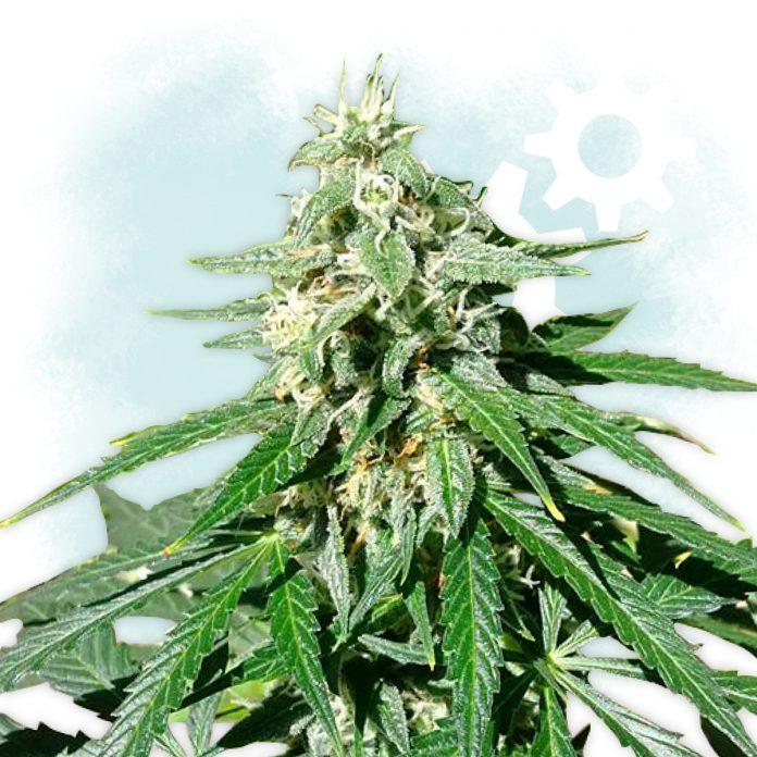 To jedna z bardziej popularnych odmian marihuany stworzona przez Sensi Seeds. Jej nazwa pochodzi od amerykańskiego aktywisty konopnego oraz autora książki Król jest nagi. Dlaczego Jack Herer jest tak wyjątkową i popularną odmianą konopi indyjskich? O tym dowiecie się z tego artykułu.