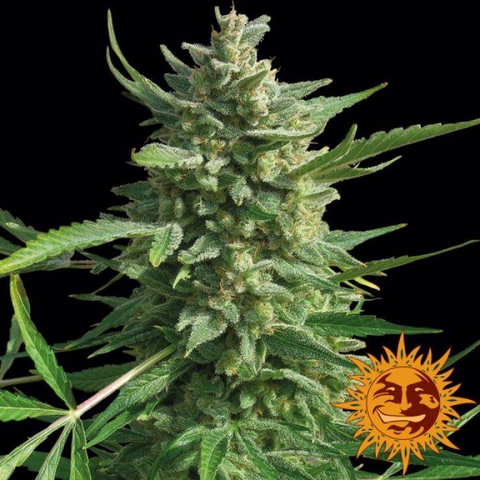 To jedna z nowszych odmian marihuany, która w ostatnich latach szybko zyskała popularność zarówno wśród growerów jak i palaczy zioła. Critical Kush jest szybko kwitnąca krzyżówką z z przewagą genów Indica. W uprawie jest prosta i obradza w obfite plony o dużej mocy. Warto zatem przyjrzeć się tej odmianie konopi indyjskich.