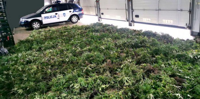 1450 krzewów konopi indyjskich i ponad 15 kilogramów zioła przejęli policjanci w miejscowości Skępe (pow. lipnowski). Plantacja uprawiana była na prywatnej posesji w pomieszczeniach gospodarczych, nieopodal lasu.