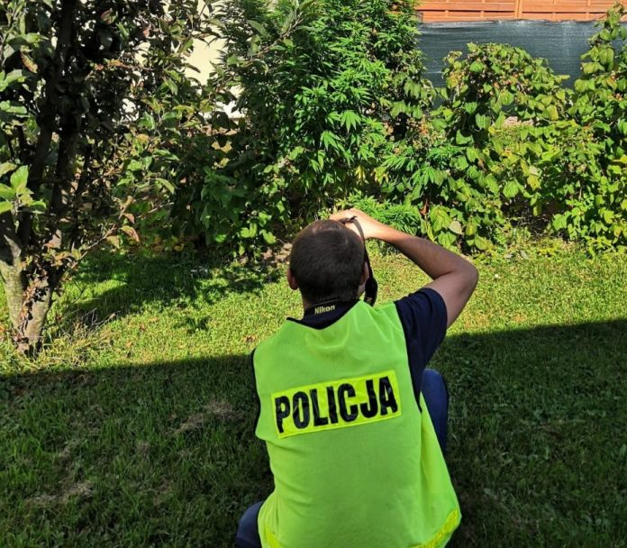 39 roślin konopi indyjskich i prawie pół kilograma suszonych krzewów oraz zioła przejęli skierniewiccy policjanci. Uprawa marihuany i zebrany z niej susz należał do 36 letniego mieszkańca powiatu łowickiego. Grozi mu teraz 15 lat za kratkami, bo okazało się, że działał w warunkach tak zwanej recydywy.